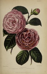 n802_w1150 (BioDivLibrary) Tags: gardening horticulture usdepartmentofagriculturenationalagriculturallibrary bhl:page=57724399 dc:identifier=httpsbiodiversitylibraryorgpage57724399 artist:name=augustainneswithers augustainneswithers hernaturalhistory
