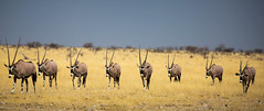 Oryx incursion (Kevin Rheese) Tags: africa wildlife etoshanationalpark namibia oryx grassland horns herd animal oshikotoregion na