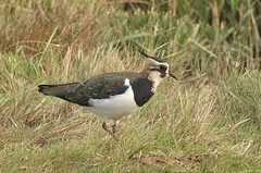 Lapwing (hedgehoggarden1) Tags: lapwing bird wildlife nature creature animal sonycybershot norfolk eastanglia uk sony plumage birds
