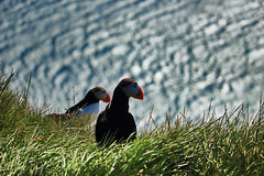 Puffin (F@bio F.) Tags: pulcinella uccello nord nordico animali islanda estate scogli mare erba prato blu colori látrabjarg natura paesaggio panorama vista puffin bird nordic animals iceland summer viaggio travel rocks sea ocean green nature colors landscape landscapes blue portrait