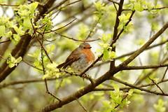 _MG_2242 (Nekogao) Tags: bird birds uk ukbirds britishbirds 鳥 鳥類 イギリス 自然 nature wildlife robin europeanrobin passerine ヨーロッパコマドリ