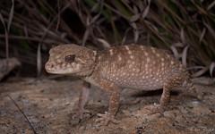 Prickly Knob-tailed Gecko (Nephrurus asper) (elliotbudd) Tags: nephrurus asper prickly knob tailed knobtailed tail gecko carphodactylidae carphodactylid gekkonidae elliot budd photography herpetology herpetologist herp qld queensland townsville charters towers