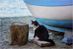 un gatto vagabondo ... (miriam ulivi) Tags: miriamulivi nikond7200 liguria sestrilevante baiadelsilenzio spiaggia beach mare sea barca boat gatto cat nature
