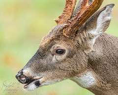 Up close and personal (Michael Allen Siebold (Getty Images Contributor)) Tags: outside nature green deer buck upclose