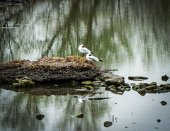 Cold Seagulls, Ingrebourne Marshes (London Less Travelled) Tags: uk unitedkingdom britain england london essex havering hornchurch rainham city suburb suburban outskirts ingrebourne park country countrypark lake water bird seagull reflection