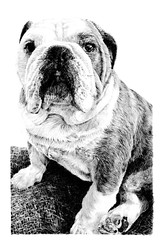 Bulldog, pet, pencil, drawing, draw, sketch, black and white, Vivienne