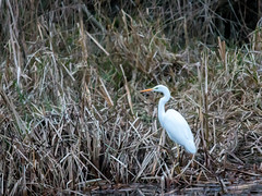 Great White Egret - Titchmarsh Nature Reserve - 06.01.2019 (dale_jeffs) Tags: wildlifebcn wildlifetrusts egret bird birding