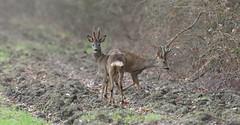 duo en velours (guiguid45) Tags: nature sauvage animaux mammifères loiret d810 nikon 500mmf4 chevreuil brocard capreoluscapreolus cervidés roedeer approche