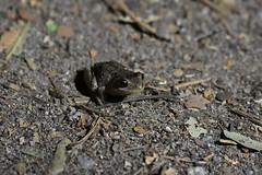 Sierran Tree Frog (Pinnacles NP) (stinkenroboter) Tags: sierrantreefrog pseudacrissierra herp amphibian frog pinnaclesnationalpark california pacifictreefrog pseudacrisregilla