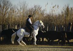 _DSC0632 (chris30300) Tags: camargue cheval