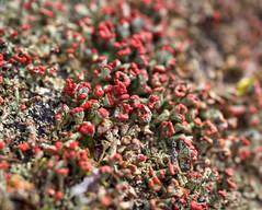 trumpets (primemundo) Tags: cladoniacristatella fruticoselichen britishsoldiers cladoniaceae lichen macro