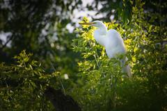 Great Egret (Mark Polson) Tags: dicks minnetonka egret summer