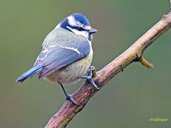 Herrerillo común (Cyanistes caeruleus)  (3) (eb3alfmiguel) Tags: pájaros insectívoros passeriformes paridae herrerillo común cyanistes caeruleus