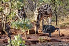 Zebra: Photobombed! (Johann (Still Me!)) Tags: zebra warthog baboon sebra vlakvark bobbejaan johanndejager ef100400mmf4556lisusm canoneos5dmarkiv makemesmile worldwildlifeday