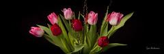 _61A0286 (fotolasse) Tags: blommorstudiontulpaner blommor flowers blad tulpaner sweden sigma 50mm canon studio light visico ttl5