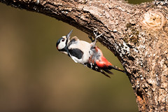 Great spotted woodpecker (Mary Bassani) Tags: woodpecker greatspottedwoodpecker birds bird picapinos birding aves dendrocopos naturewildlife naturewildlifephotographer canonphotographer canonwildlifephotographer wildlife animalplanet animallovers