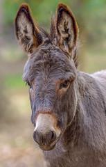 so ein Esel ... (Konrads Bilderwerkstatt) Tags: tier haustier esel pferd wildpferd pflanzenfresser kopf porträt auge maul schnauze bart haar guido konrad fell ohren