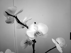 harada-flowers-55 (annie harada) Tags: flowers hana blumen fleurs bouquet noir et blanc black white
