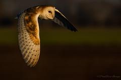 Using the Light (budgiepaulbird) Tags: barnowls inflight light owls canon7dmark2 100400mark2 birds eveninglight eveningsun