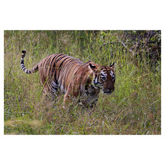 Bengal Tiger Tigress in Grass, Tadoba National Park, Maharashtra, India (Monica Max West) Tags: india indianwildlife wildlife nature wildlifephotography wild tiger bengaltiger monkey primate bigcat endangered