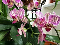 The butterflies took off. Orchid Phalaenopsis. (valery_pokotylo) Tags: sundaylignts orchid