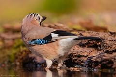 Jay in water (eric-d at gmx.net) Tags: eichelhäher jay jaybird corvidae