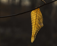 Backlit leaf..... (Kevin Povenz Thanks for all the views and comments) Tags: 2019 march kevinpovenz westmichigan michigan ottawa ottawacounty ottawacountyparks nature leaf backlit backlighting sunlit early earlymorning canon7dmarkii sigma70mmmacro macro closeup sigma