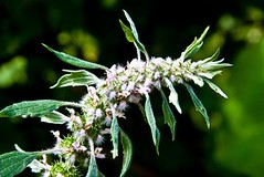 Lion's Tail and its Benefits (Read News) Tags: medicinal plants benefits lion39s herbs their uses trees articles guide list tail