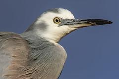 White-faced Heron 2019-04-09 (7D_182A7336) (ajhaysom) Tags: whitefacedheron egrettanovaehollandiae canoneos7dmkii tamron150600mmf563divcusdg2 greenvale melbourne australia australianbirds