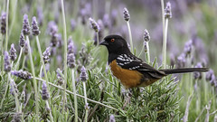 Spotted Towhee (Bob Gunderson) Tags: alamedacounty birds california eastbay northerncalifornia pipilomaculatus sparrowsjuncostowhees spottedtowhee towhees