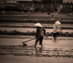 RiceWorkers (si_glogiewicz) Tags: vietnam asia south east communist viet rice paddy field work workers labor labour hard