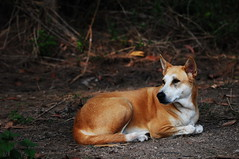 ,, Pumpkin The Bumpkin ,, (Jon in Thailand) Tags: dog k9 pumpkinthebumpkin nikon nikkor d300 70300vr jungle alertdog dogexpression dogears dognose happydog dogonduty snakedog beautifuldog rescueddog snakecharmer littledoglaughedstories