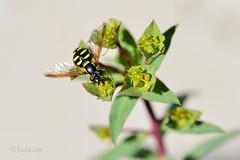 Alimentándose en las horas de sol... (EFD-fotolab) Tags: nikkor105mm nikond610 españa naturaleza avispas nikon macrofotografia macro invierno insectos