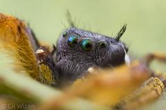 Phidippus-arizonensis-male-closeup (Venus Optics - Laowa) Tags: 2018 arachnida arizona february2018 phiddipus phiddipusarizonensis salticidae unitedstates jumpingspiders male spider