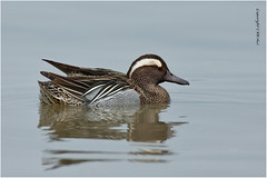 Garganey (Anas querquedula) 白眉鴨 ♂ - 280417_DSC8326nn (KK Hui Avian) Tags: garganey anasquerquedula 白眉鴨 waterfowl duck bird