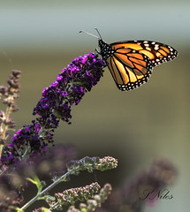 Monarch Butterfly (PhotoArtOne) Tags: monarchbutterfly butterfly insect