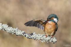 Martin pêcheur d'Europe (Guy&Nicole) Tags: alcedoatthis alcédinidés commonkingfisher coraciiformes martinpêcheurdeurope bird oiseau iso640 f71 11600s 500mm