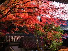 京都山科毘沙門堂 (Eiki Wang) Tags: 山科 毘沙門堂 京都 yamashina kyoto 楓 紅葉 momiji