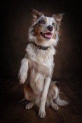 Begging for the Ball (Chris Willis 10) Tags: star studio texturedbackground blue orange texture bordercollie redmerle dog sheepdog beg paw