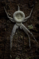 Two-tailed spider (Hersiliidae) with entomopathogenic fungus (pbertner) Tags: rainforest rainforestexpeditions southamerica peru perunature madrededios amazon tambopata tambopataresearchcentre trc twotailedspider hersiliidae fungus entomopathogenicfungus
