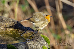 Robin after his bath (pollylew) Tags: