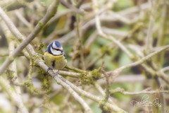 Blue Tit in an old apple tree (pollylew) Tags: