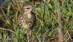 Meadow Pipit 140219 (2) (Richard Collier - Wildlife and Travel Photography) Tags: birds british britishbirds wildlife naturalhistory nature meadowpipit naturethroughthelens