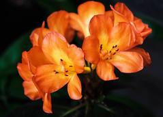 Vireya Rhododendron (San Francisco Gal) Tags: vireyarhododendron rhododendron flower fleur bloom blossom pacificorchidexposition hallofflowers goldengatepark sanfrancisco orange tropical 5petal ngc npc