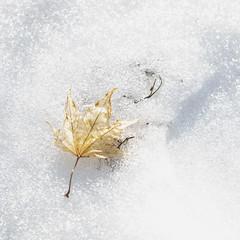 Day 55 of 365 - Golden (gcarmilla) Tags: leaf foglia neve snow nieve hoja ice ghiaccio golden oro