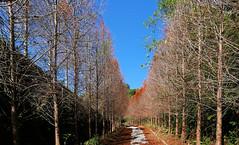 想到了電影場景 Thought of a movie scene (葉 正道 Ben(busy)) Tags: tanzihdistrict taichung 台中 潭子 落羽松 taxodium tree forest sky 樹 森林 天空 台灣 taiwan