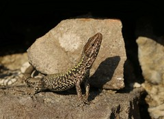 Wall Lizard (farrertracy) Tags: walllizard sunshine spring reptile rocks green brown bluesky dorset posing coast podarcismuralis february lizard shadows