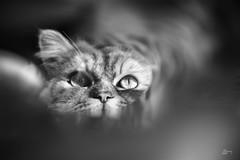 Félin (co.lacroixphotographies) Tags: chats félin noir et blanc