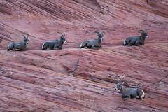 Big Horns on the red rocks of Zion (Brad Prudhon) Tags: 2018 animals bighornsheep mountcarmel october redrocks utah zionnationalpark