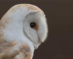 Fenland Barn Owl (budgiepaulbird) Tags: barnowls owls birdsofprey fens male canon7dmark2 100400mark2 portrait eyes perched birds